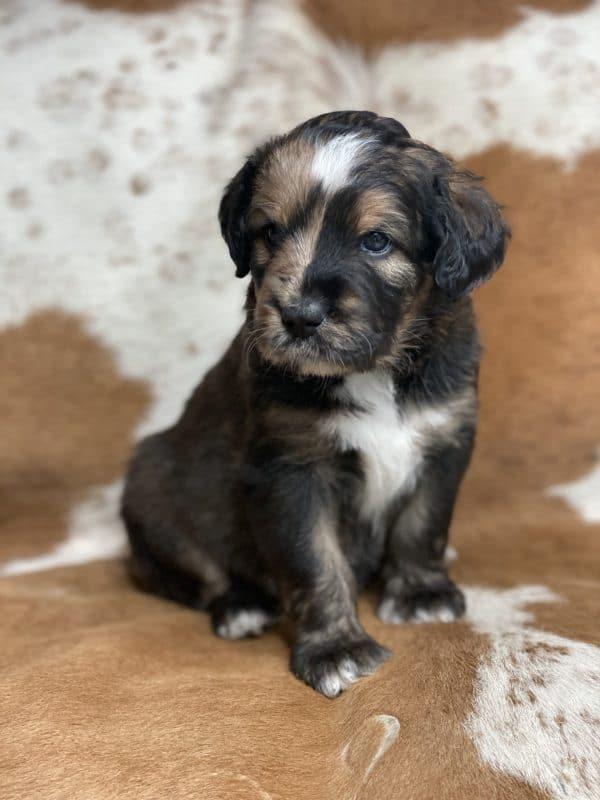 Merle Tri-Color with Sable Markings