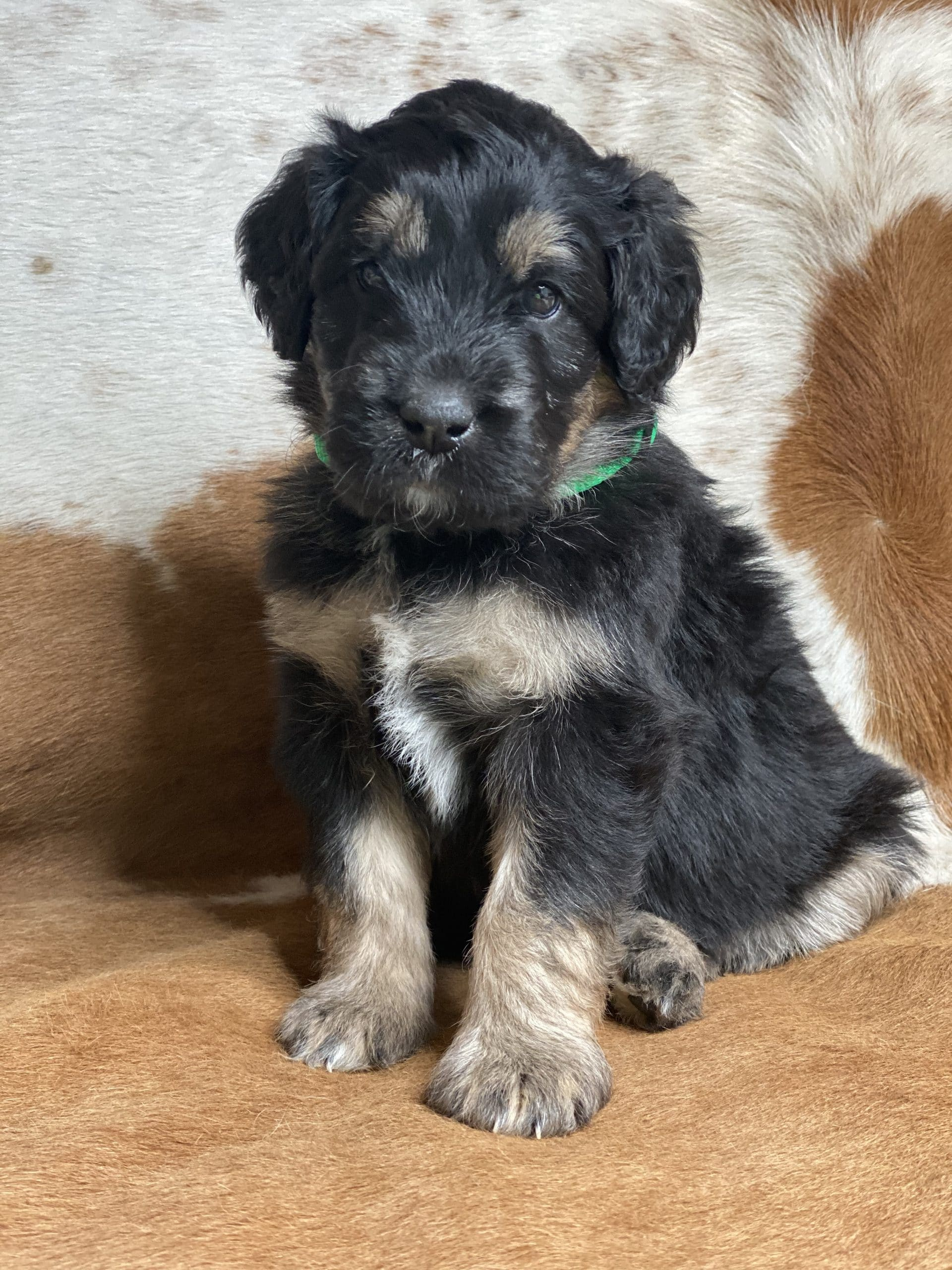 Tri-Color Phantom Aussiedoodle
