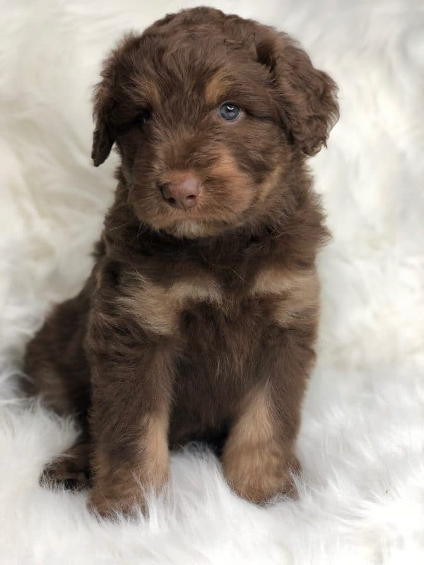 Tri-Color Red Aussiedoodle