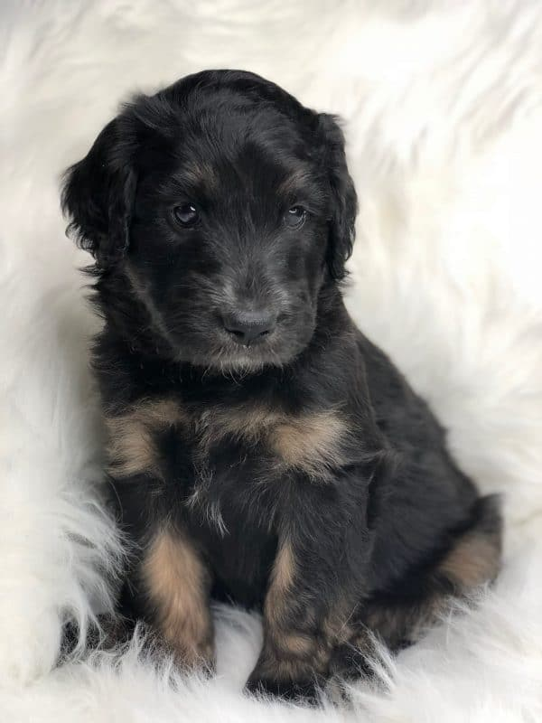 Black Phantom Aussiedoodle
