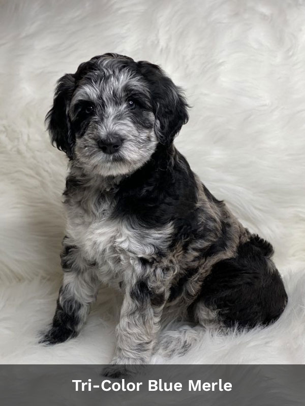 Tri-Color Blue Merle Aussiedoodle