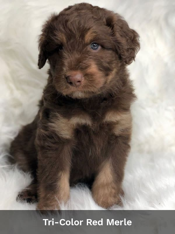 Tri-Color Red Merle Aussiedoodle